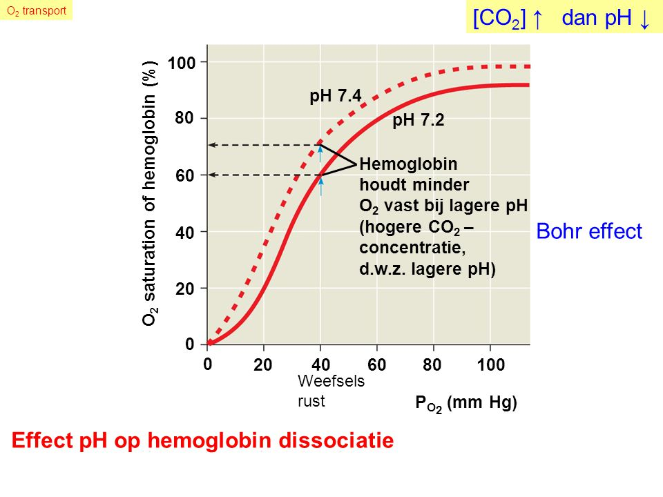 Fig. 42-29b O 2 saturation of hemoglobin (%) 40 0 20 60 80 0 40801002060 100 P O 2 (mm Hg) Effect pH op hemoglobin dissociatie pH 7.4 pH 7.2 Hemoglobi