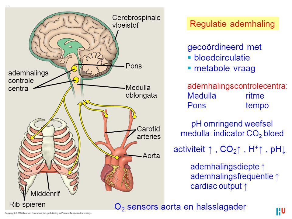 57 ademhalings controle centra Cerebrospinale vloeistof Pons Medulla oblongata Carotid arteries Aorta Middenrif Rib spieren Regulatie ademhaling gecoö