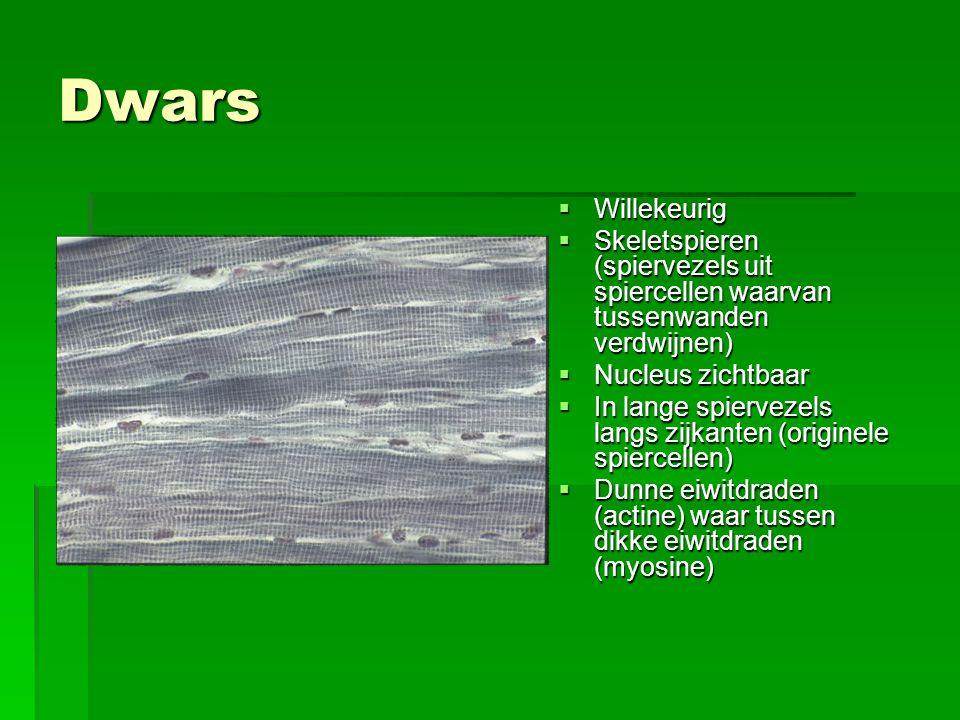 Dwars  Willekeurig  Skeletspieren (spiervezels uit spiercellen waarvan tussenwanden verdwijnen)  Nucleus zichtbaar  In lange spiervezels langs zijkanten (originele spiercellen)  Dunne eiwitdraden (actine) waar tussen dikke eiwitdraden (myosine)
