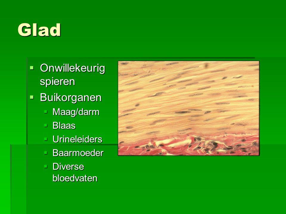 Glad  Onwillekeurig spieren  Buikorganen  Maag/darm  Blaas  Urineleiders  Baarmoeder  Diverse bloedvaten