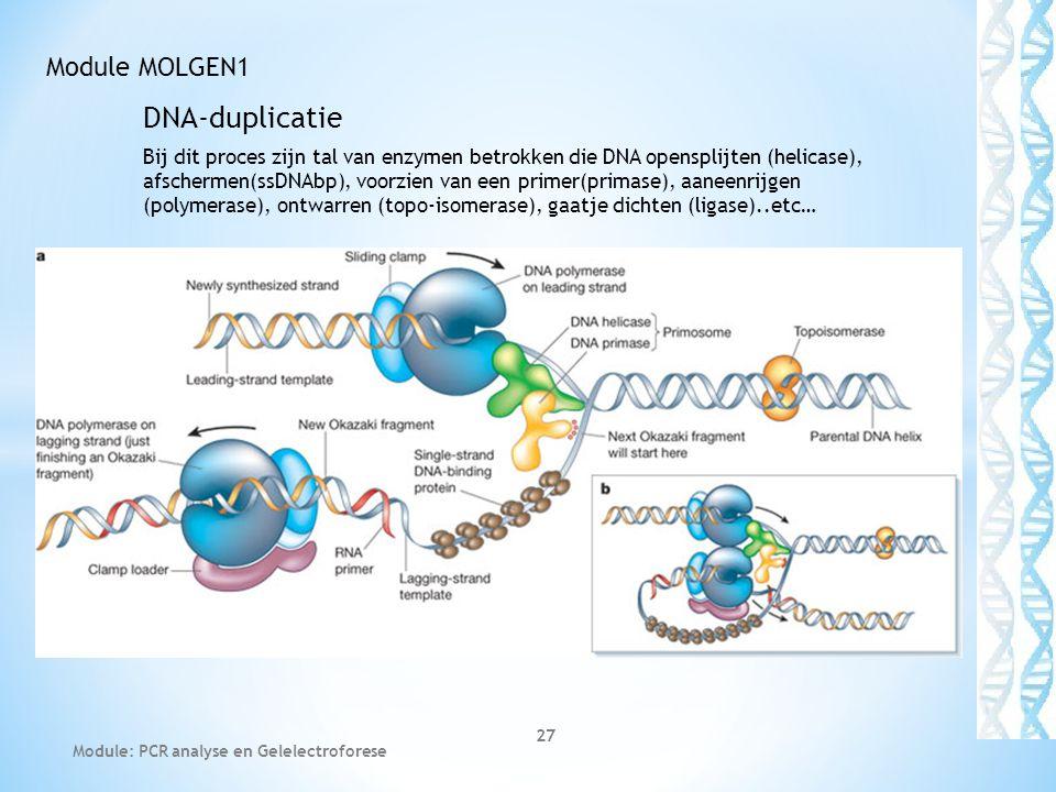DNA-duplicatie Bij dit proces zijn tal van enzymen betrokken die DNA opensplijten (helicase), afschermen(ssDNAbp), voorzien van een primer(primase), a