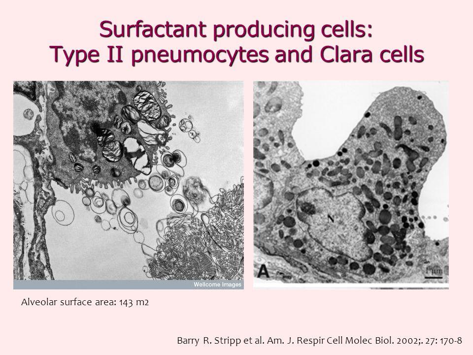 Surfactant producing cells: Type II pneumocytes and Clara cells Barry R. Stripp et al. Am. J. Respir Cell Molec Biol. 2002;. 27: 170-8 Alveolar surfac