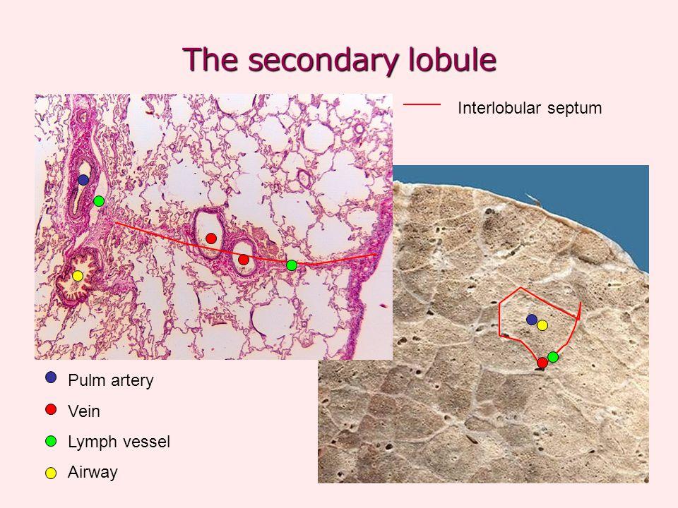 The secondary lobule Pulm artery Vein Lymph vessel Airway Interlobular septum