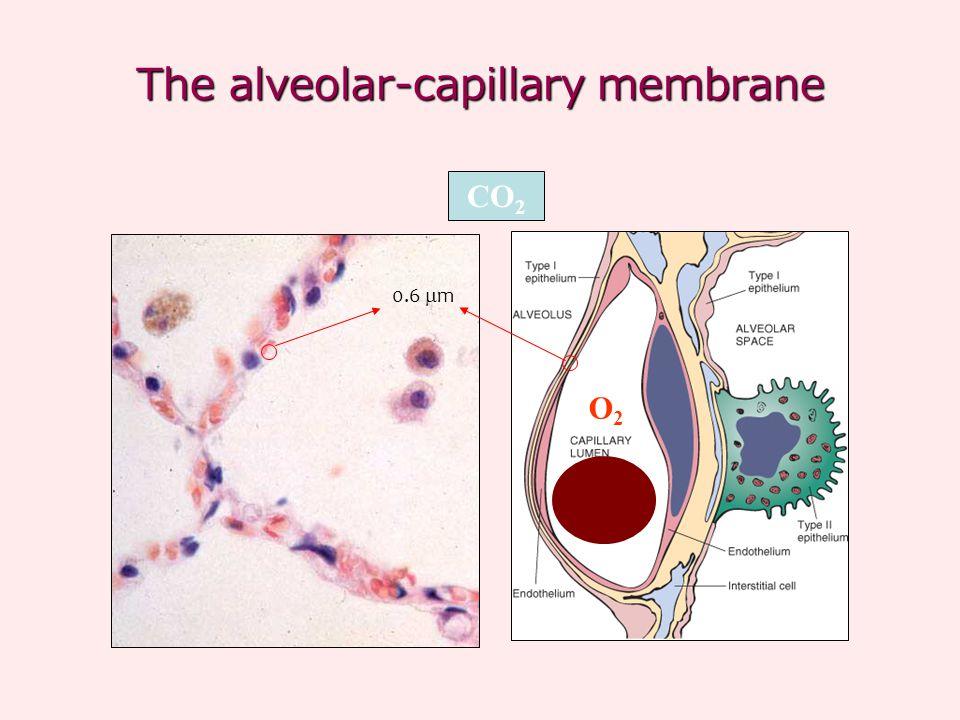The alveolar-capillary membrane CO 2 O2O2 0.6  m