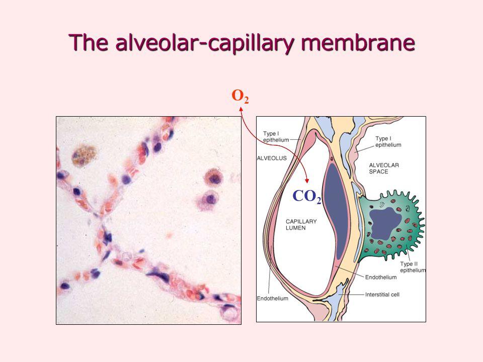 The alveolar-capillary membrane O2O2 CO 2