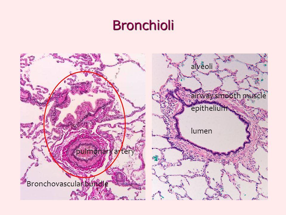 Bronchioli lumen epithelium airway smooth muscle alveoli pulmonary artery Bronchovascular bundle