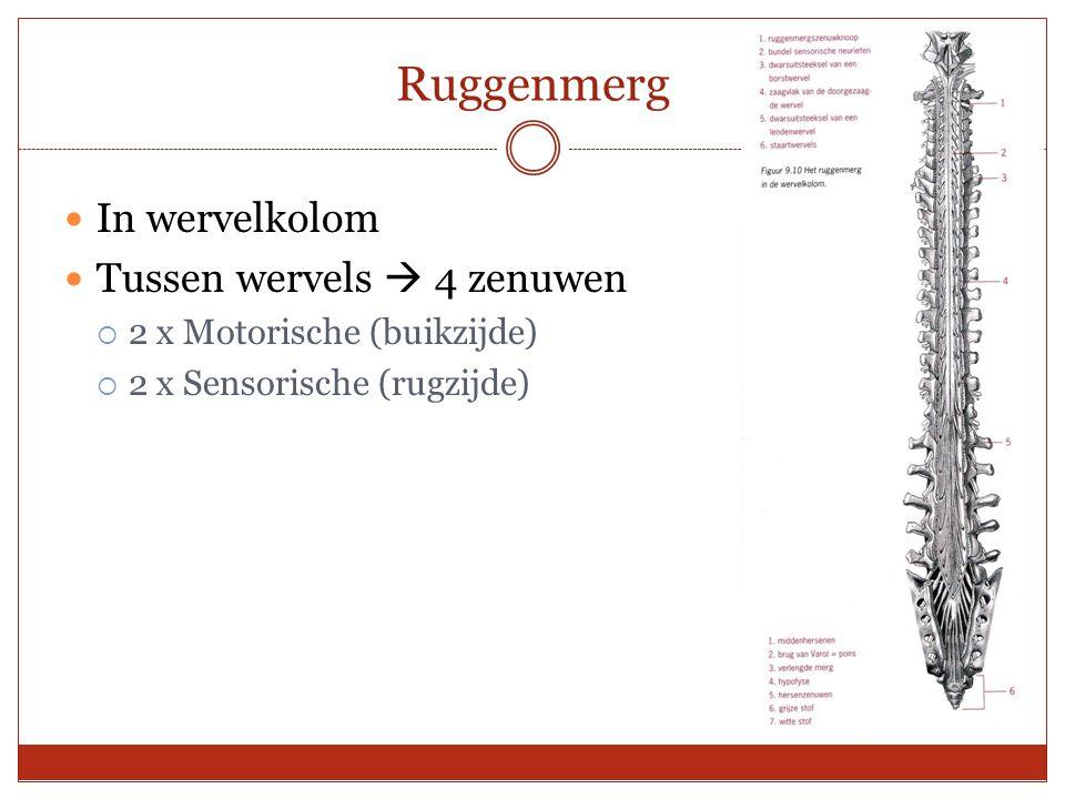 In wervelkolom Tussen wervels  4 zenuwen  2 x Motorische (buikzijde)  2 x Sensorische (rugzijde)