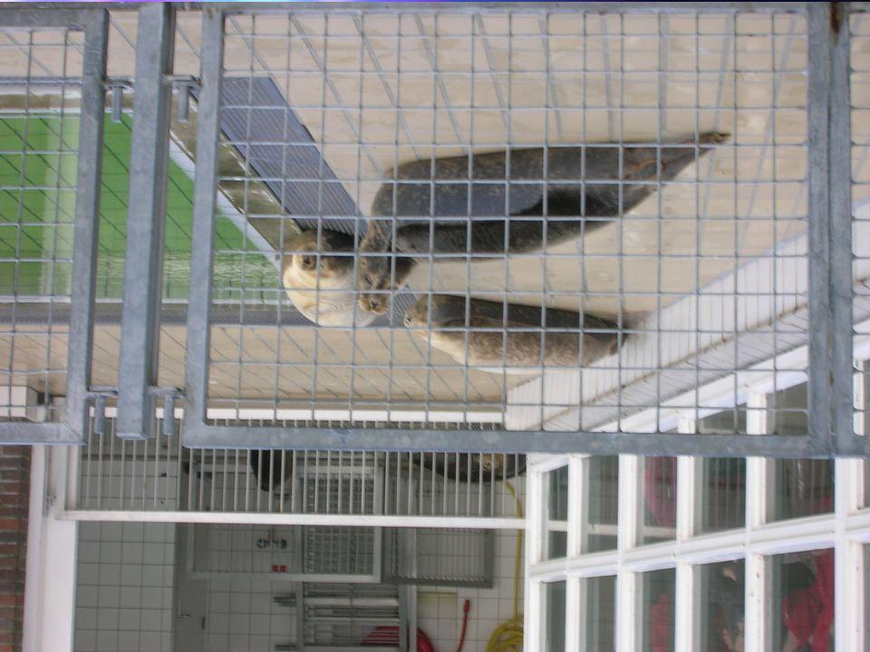 Opvangcentrum in Nederland Pieterburen. Ziek, gewond of geen moeder. Uitzetten in zee Donateur of een zeehond adopteren. Een rondleiding. Dierenartsen