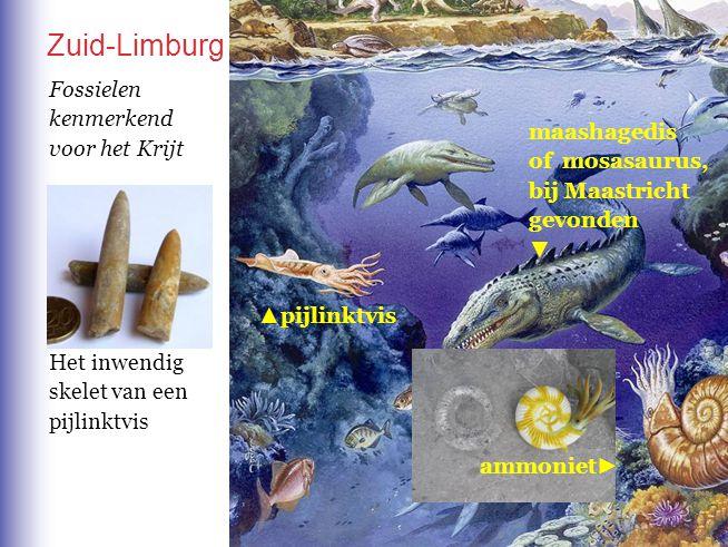 Zuid-Limburg ammoniet ► maashagedis of mosasaurus, bij Maastricht gevonden ▼ ▲ pijlinktvis Het inwendig skelet van een pijlinktvis Fossielen kenmerken