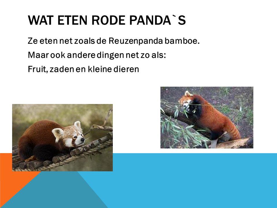 WAT ZIJN RODE PANDA`S Rode panda`s zijn eigenlijk kleine panda`s. Maar alleen zijn ze bruinrood. En hebben een lange staart. Helaas is de rode panda o