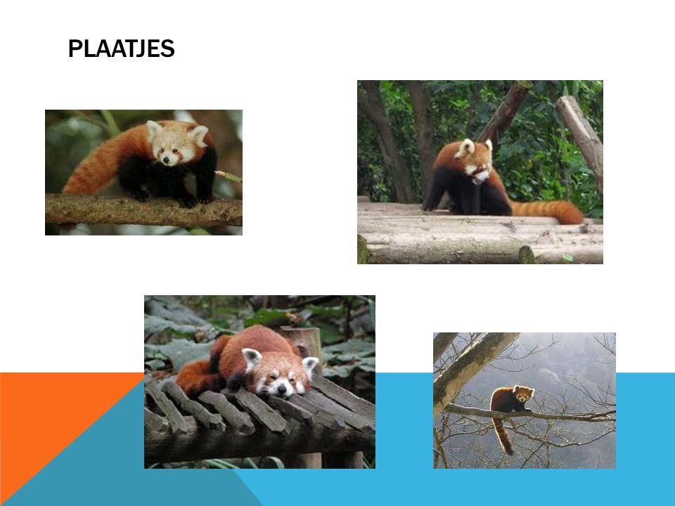 WAT IS DE LENGTE VAN DE RODE PANDA Een rode panda is 50 tot 64 centimeter lang.