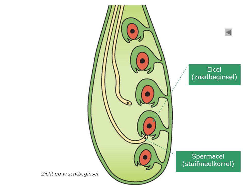 Zicht op vruchtbeginsel Spermacel (stuifmeelkorrel) Eicel (zaadbeginsel)