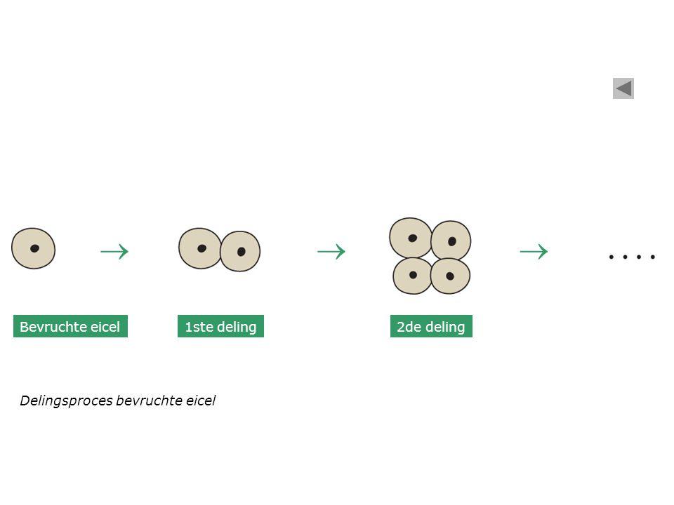 Bevruchte eicel 1ste deling2de deling  Delingsproces bevruchte eicel