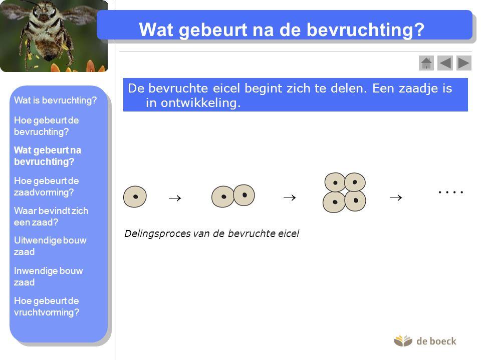 Wat gebeurt na de bevruchting.De bevruchte eicel begint zich te delen.