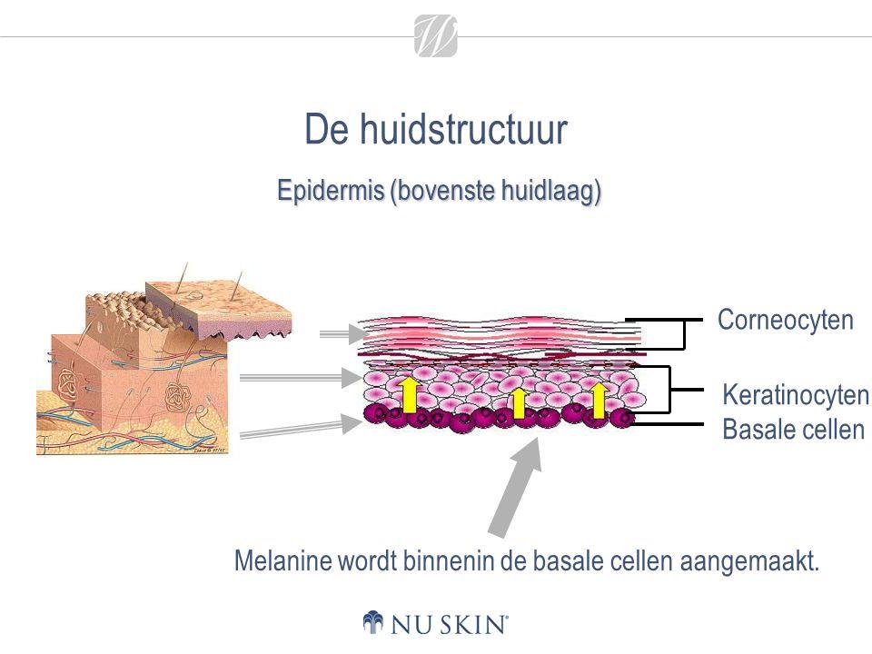 De huidstructuur Corneocyten Keratinocyten Basale cellen Melanine wordt binnenin de basale cellen aangemaakt. Epidermis (bovenste huidlaag)
