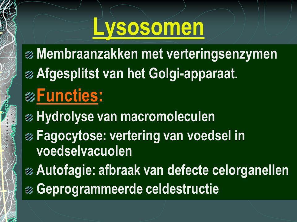 Lysosomen Membraanzakken met verteringsenzymen Afgesplitst van het Golgi-apparaat. Functies: Hydrolyse van macromoleculen Fagocytose: vertering van vo