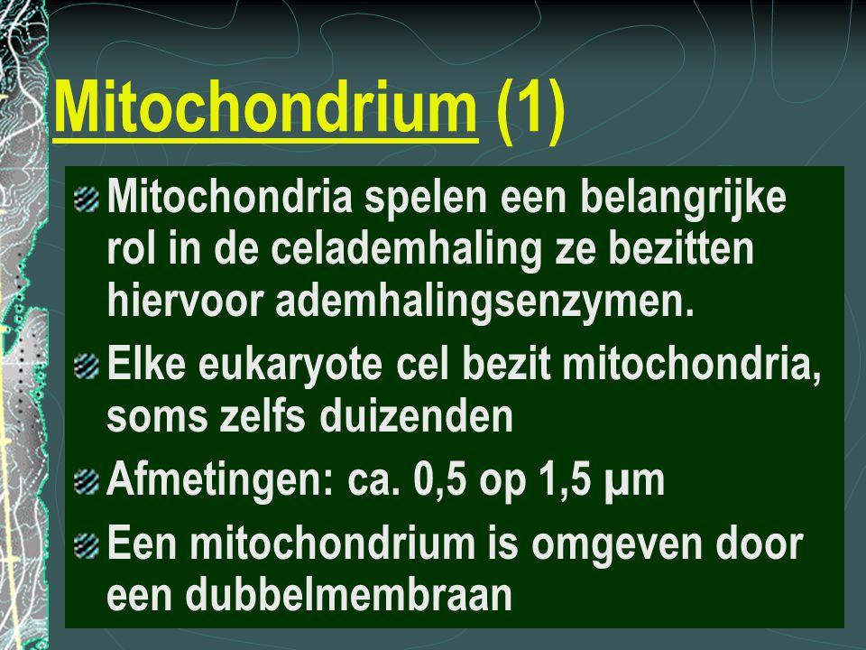 Mitochondrium (1) Mitochondria spelen een belangrijke rol in de celademhaling ze bezitten hiervoor ademhalingsenzymen. Elke eukaryote cel bezit mitoch