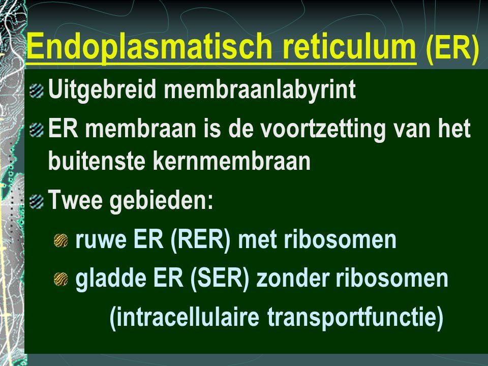 Endoplasmatisch reticulum (ER) Uitgebreid membraanlabyrint ER membraan is de voortzetting van het buitenste kernmembraan Twee gebieden: ruwe ER (RER)