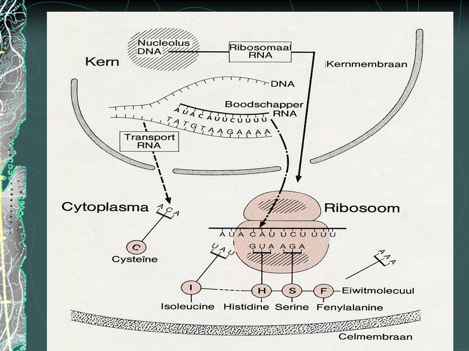 Mitochondrium (2) Buitenmembraan : glad oppervlak Binnenmembraan : sterk geplooid Cristae: plooien in het binnenmembraan Inter membraan ruimte: ruimte tussen beide membranen Mitochondriale matrix: ruimte omsloten door het binnenmembraan