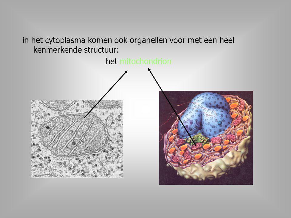 in het cytoplasma komen ook organellen voor met een heel kenmerkende structuur: het mitochondrion