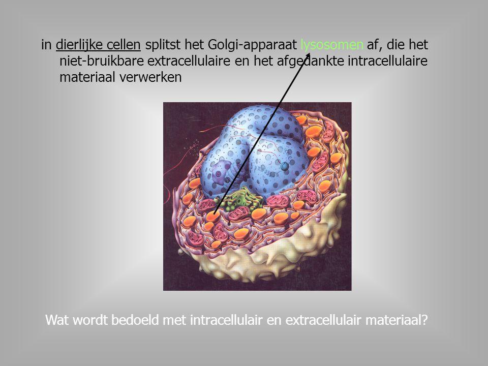 in dierlijke cellen splitst het Golgi-apparaat lysosomen af, die het niet-bruikbare extracellulaire en het afgedankte intracellulaire materiaal verwerken Wat wordt bedoeld met intracellulair en extracellulair materiaal?