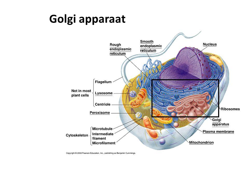 Golgi apparaat