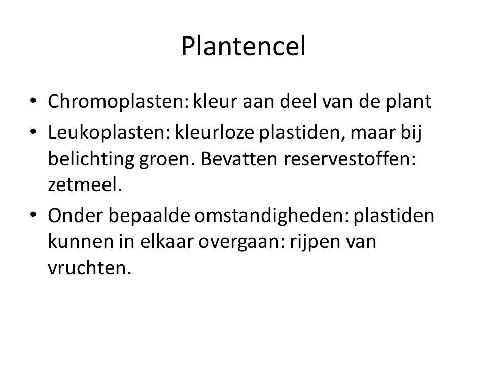 Plantencel Chromoplasten: kleur aan deel van de plant Leukoplasten: kleurloze plastiden, maar bij belichting groen. Bevatten reservestoffen: zetmeel.
