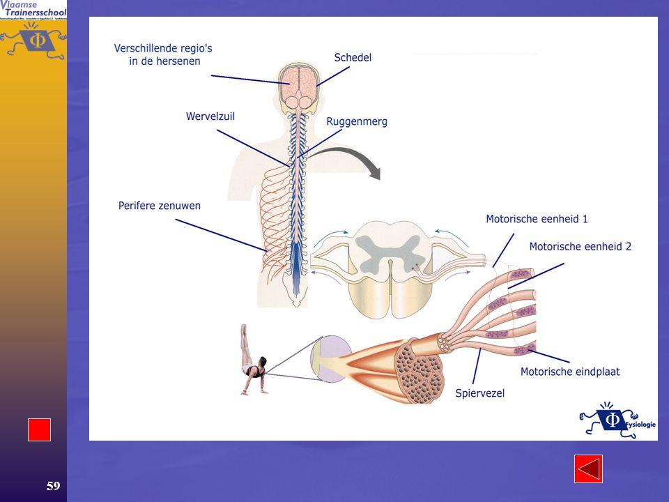 58 Van chemische energie tot bewegen  Structuren –De bezenuwing –De spier Bouw Soorten vezels Verhouding vezels  Werking –Sliding filament theorie