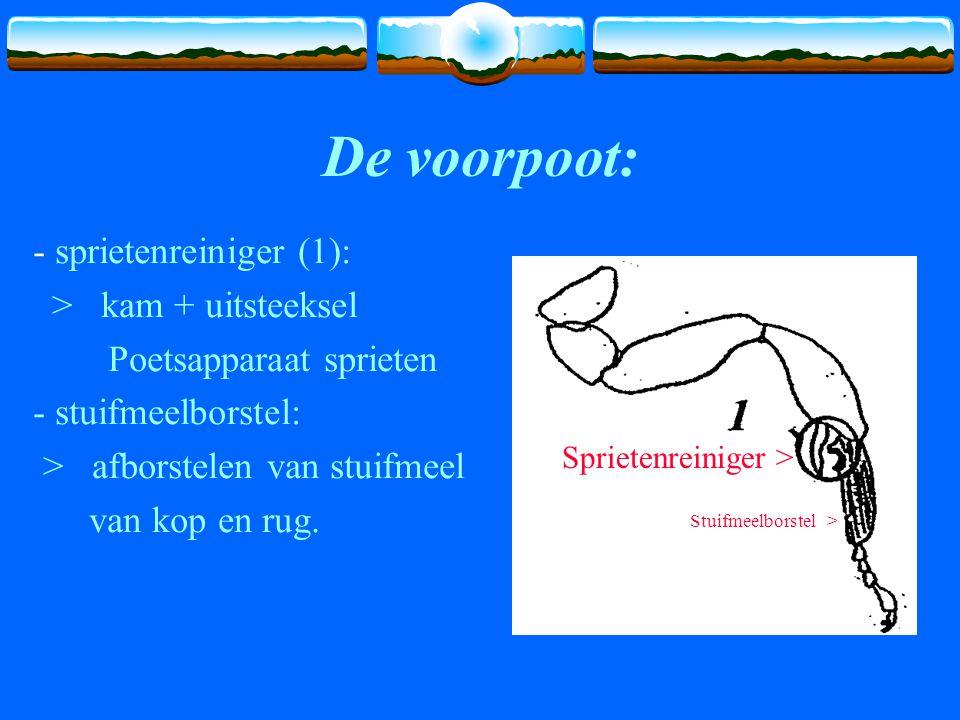 De voorpoot: - sprietenreiniger (1): > kam + uitsteeksel Poetsapparaat sprieten - stuifmeelborstel: > afborstelen van stuifmeel van kop en rug.