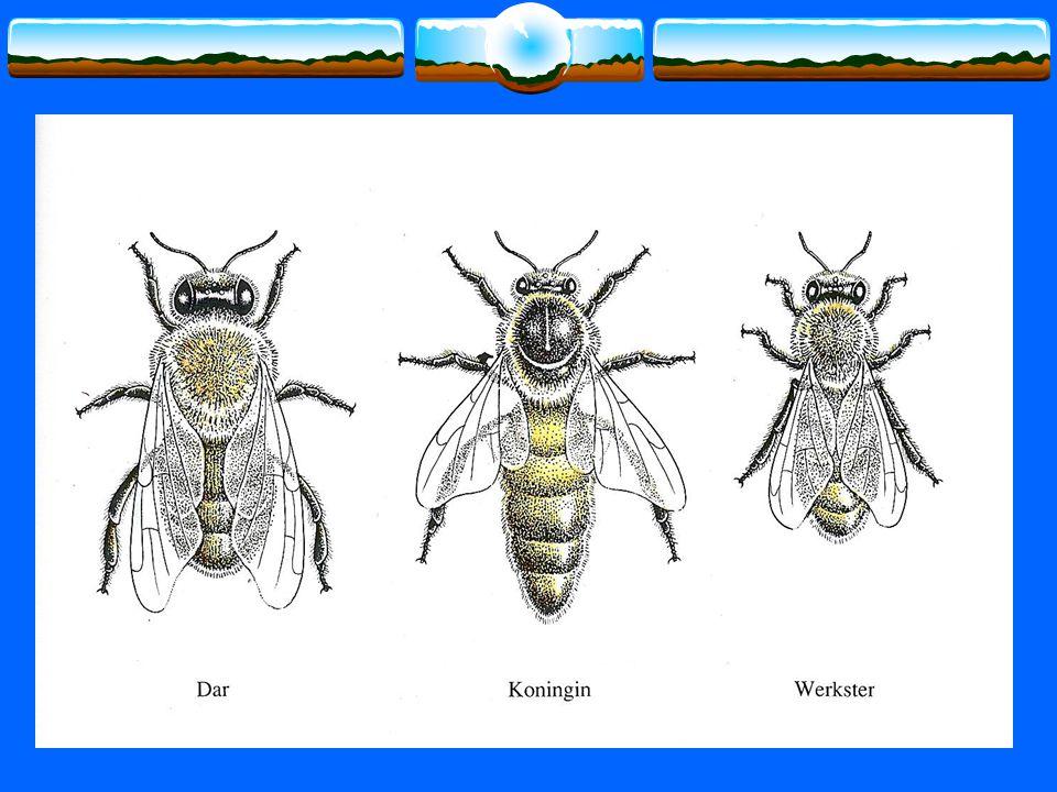 De vleugels : voor-en achtervleugels haken in elkaar en vormen één draagvlak