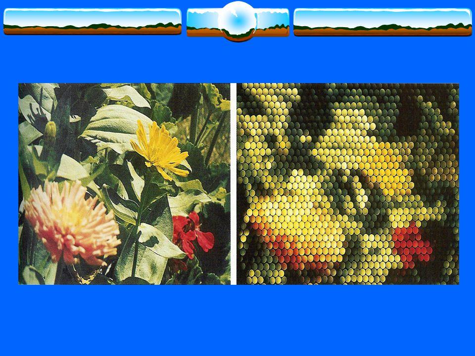 Honingmerk: Opvallende vlekken of lijnen die de weg wijzen naar het « hart » van de bloem ( = nectarklieren ) Enkel te zien bij ultraviolet licht