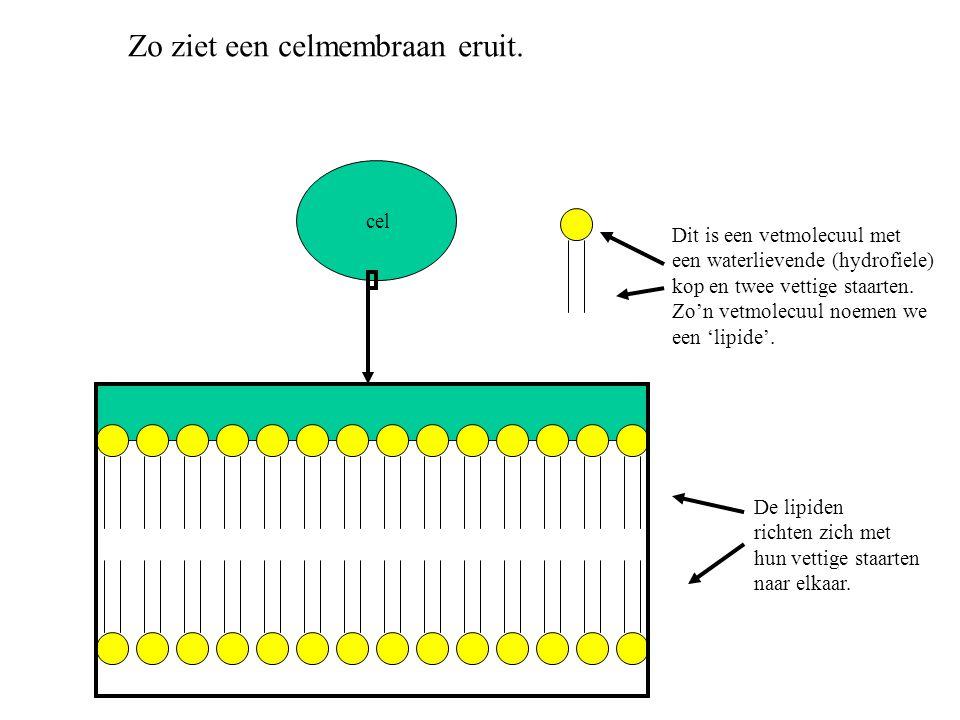 cel Zo ziet een celmembraan eruit. Dit is een vetmolecuul met een waterlievende (hydrofiele) kop en twee vettige staarten. Zo'n vetmolecuul noemen we