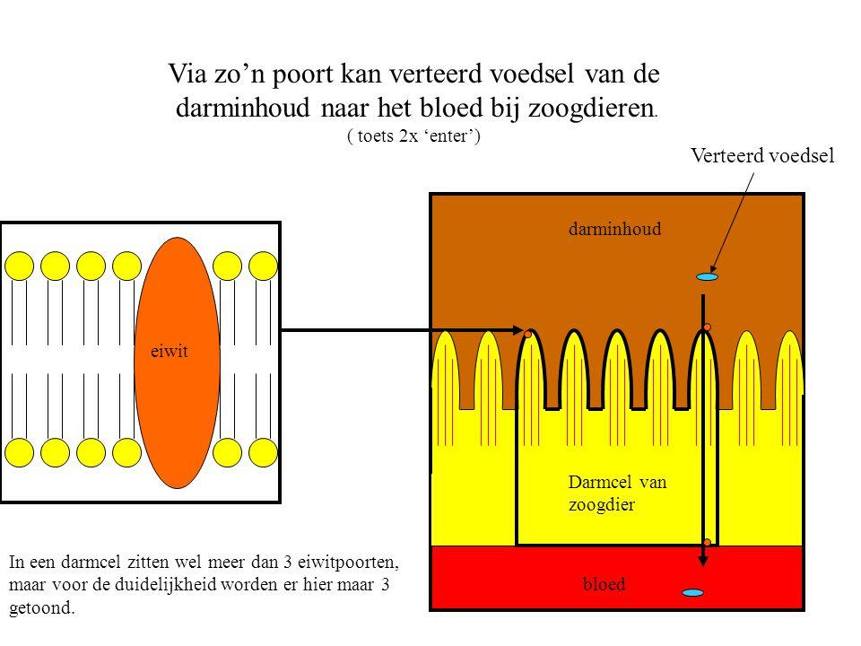 eiwit Darmcel van zoogdier bloed darminhoud Via zo'n poort kan verteerd voedsel van de darminhoud naar het bloed bij zoogdieren. ( toets 2x 'enter') I
