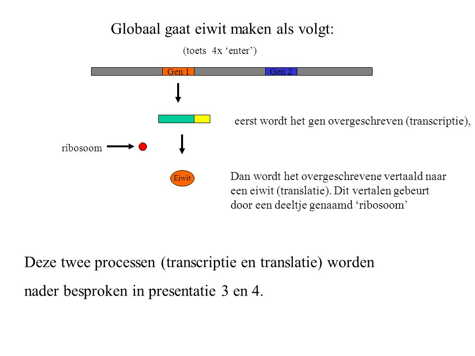 Dan wordt het overgeschrevene vertaald naar een eiwit (translatie). Dit vertalen gebeurt door een deeltje genaamd 'ribosoom' Globaal gaat eiwit maken