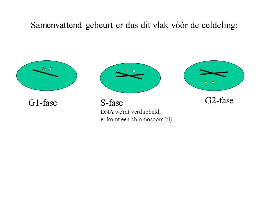 Samenvattend gebeurt er dus dit vlak vòòr de celdeling: G1-fase G2-fase S-fase DNA wordt verdubbeld, er komt een chromosoom bij.