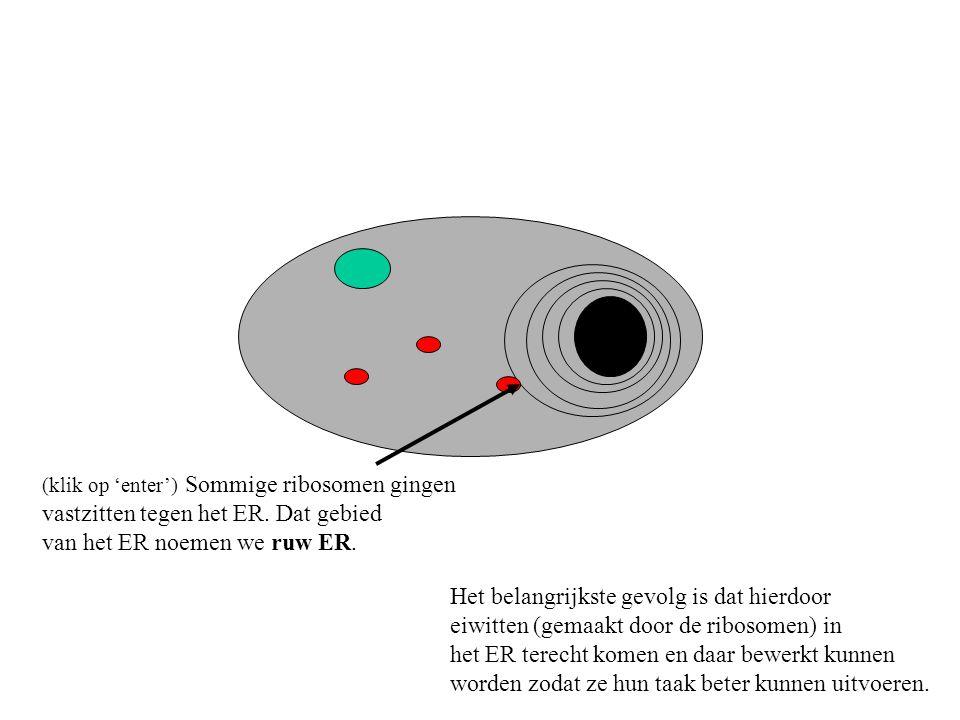 (klik op 'enter') Sommige ribosomen gingen vastzitten tegen het ER. Dat gebied van het ER noemen we ruw ER. Het belangrijkste gevolg is dat hierdoor e