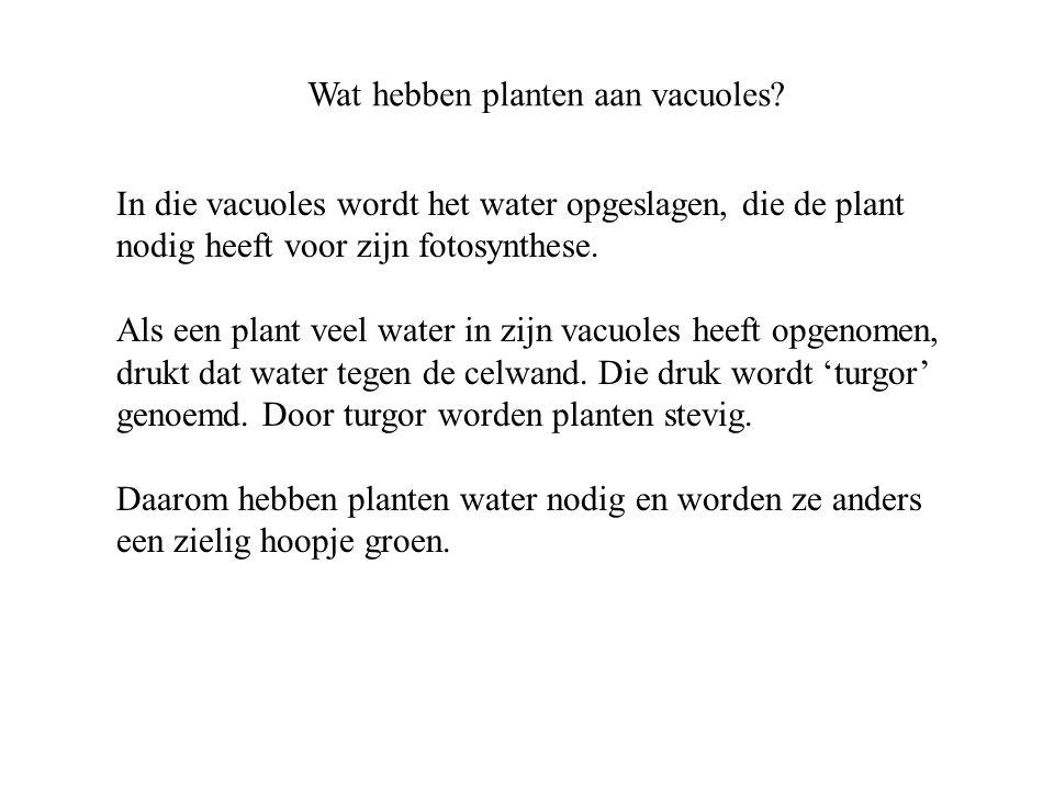 Wat hebben planten aan vacuoles? In die vacuoles wordt het water opgeslagen, die de plant nodig heeft voor zijn fotosynthese. Als een plant veel water