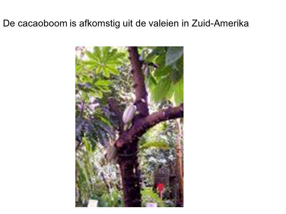 De cacaoboom is afkomstig uit de valeien in Zuid-Amerika