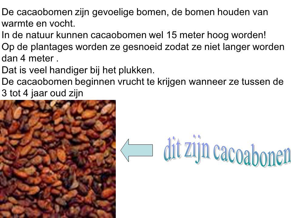 Via schepen van Columbus is de cacaoboon in Europa terechtgekomen denken de meeste mensen.