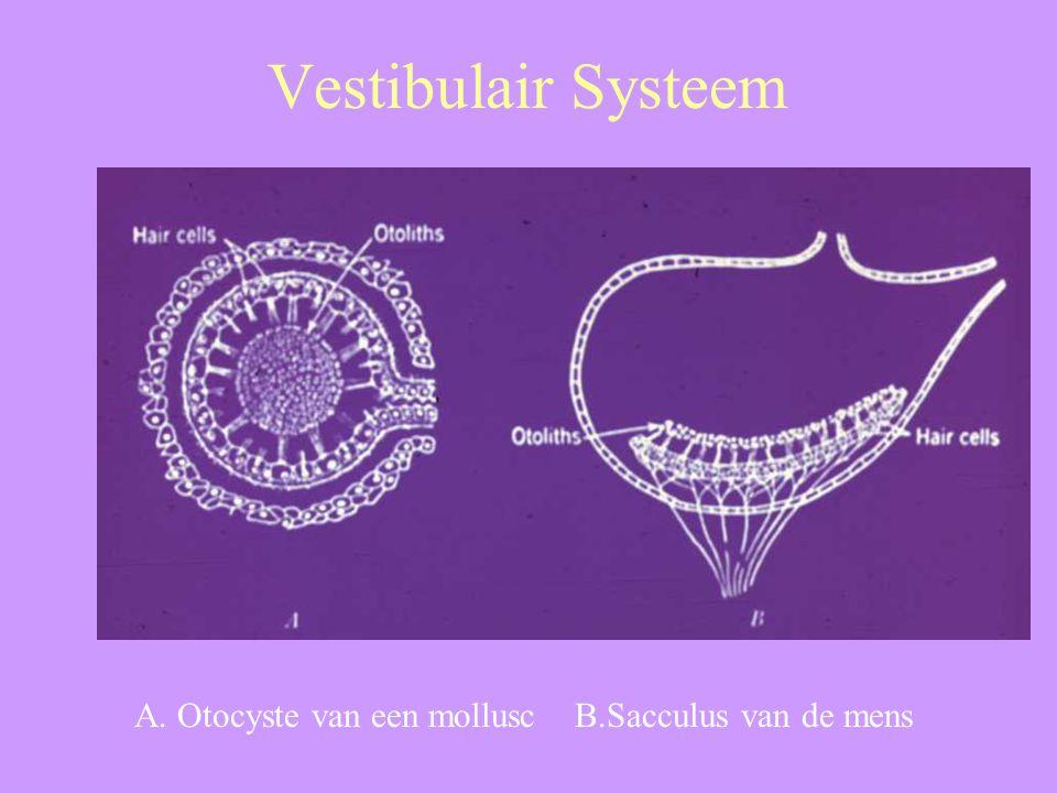 Vestibulair Systeem A. Otocyste van een mollusc B.Sacculus van de mens