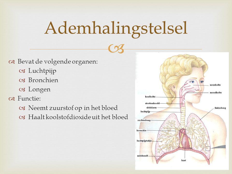   Bevat de volgende organen:  Luchtpijp  Bronchien  Longen  Functie:  Neemt zuurstof op in het bloed  Haalt koolstofdioxide uit het bloed Adem