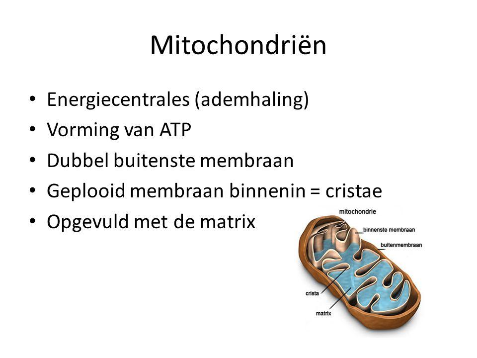 Mitochondriën Energiecentrales (ademhaling) Vorming van ATP Dubbel buitenste membraan Geplooid membraan binnenin = cristae Opgevuld met de matrix