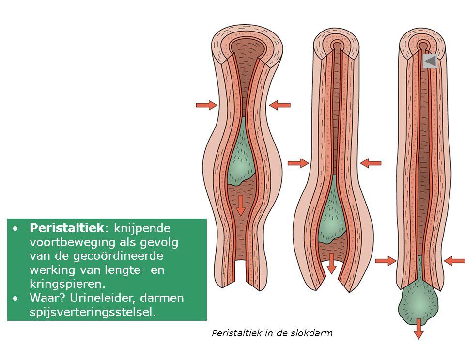 Peristaltiek in de slokdarm Peristaltiek: knijpende voortbeweging als gevolg van de gecoördineerde werking van lengte- en kringspieren. Waar? Urinelei