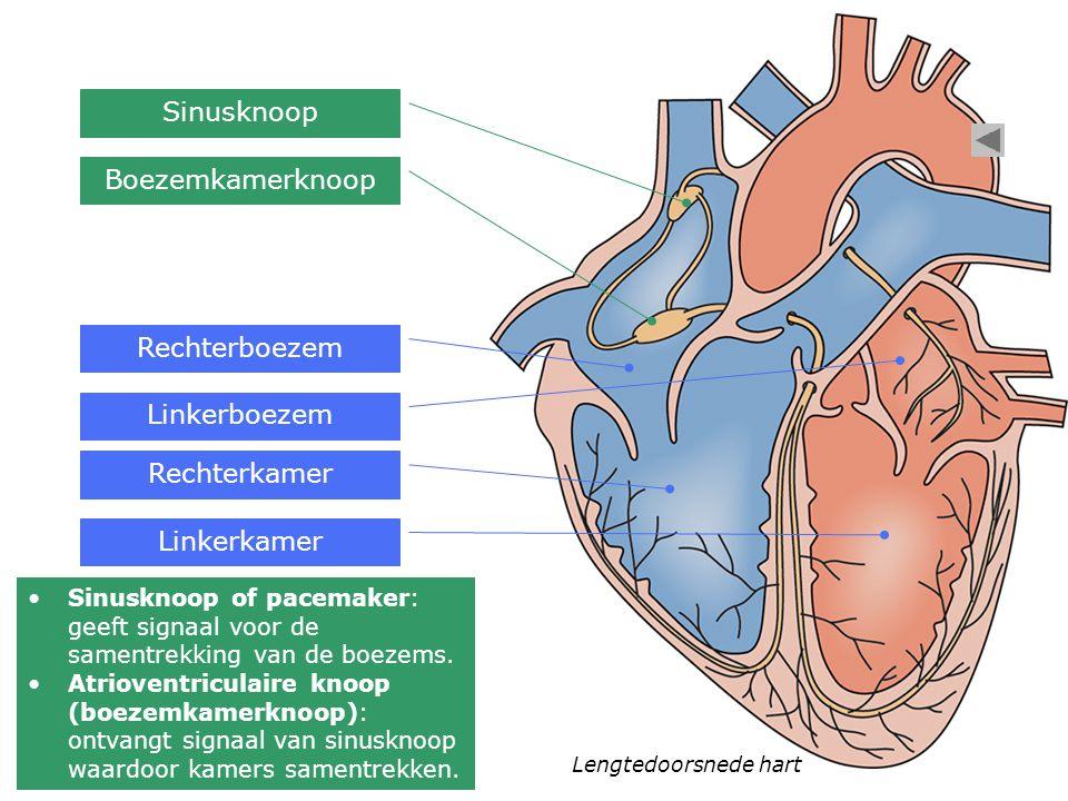 Lengtedoorsnede hart Rechterboezem Linkerboezem Rechterkamer Linkerkamer Sinusknoop Boezemkamerknoop Sinusknoop of pacemaker: geeft signaal voor de sa