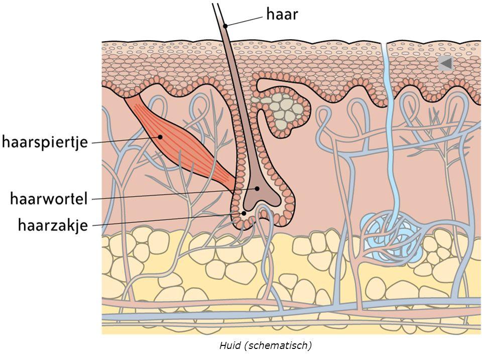 Huid (schematisch)