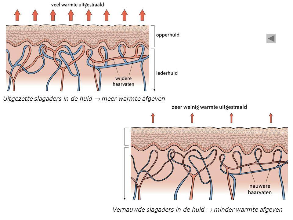 Vernauwde slagaders in de huid  minder warmte afgeven Uitgezette slagaders in de huid  meer warmte afgeven