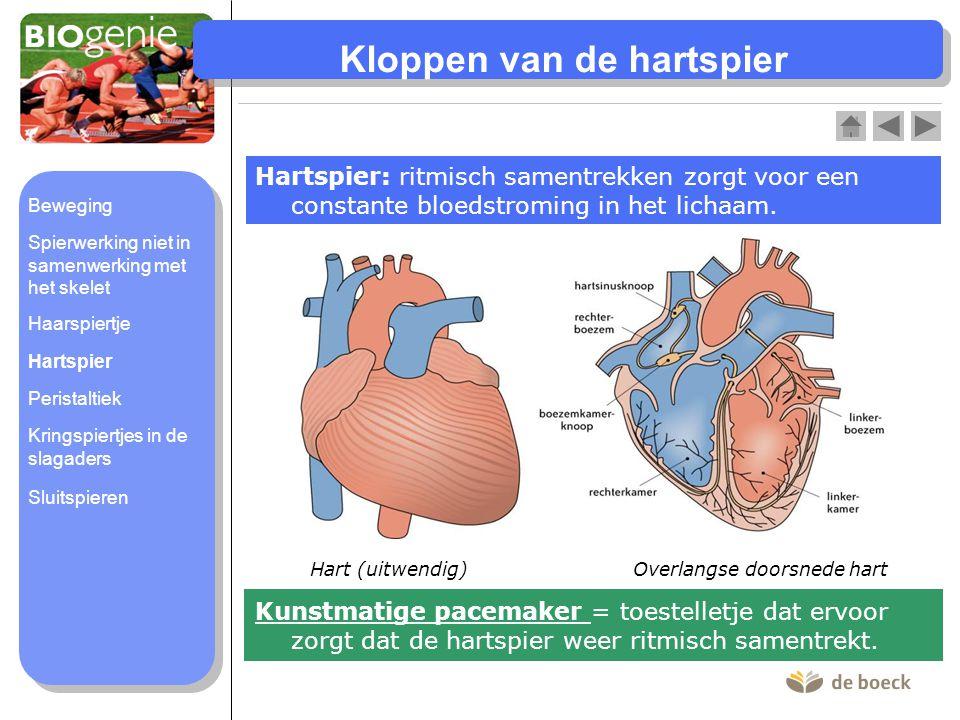 Kloppen van de hartspier Hartspier: ritmisch samentrekken zorgt voor een constante bloedstroming in het lichaam. Hart (uitwendig)Overlangse doorsnede