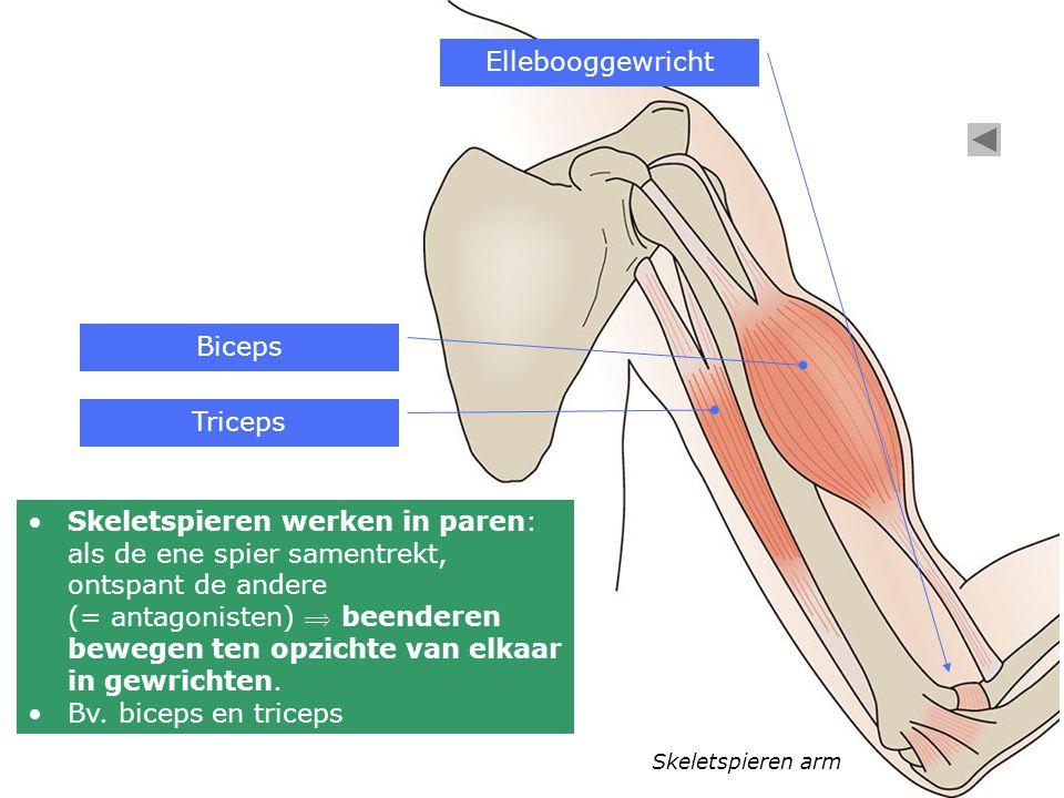 Skeletspieren arm Skeletspieren werken in paren: als de ene spier samentrekt, ontspant de andere (= antagonisten)  beenderen bewegen ten opzichte van