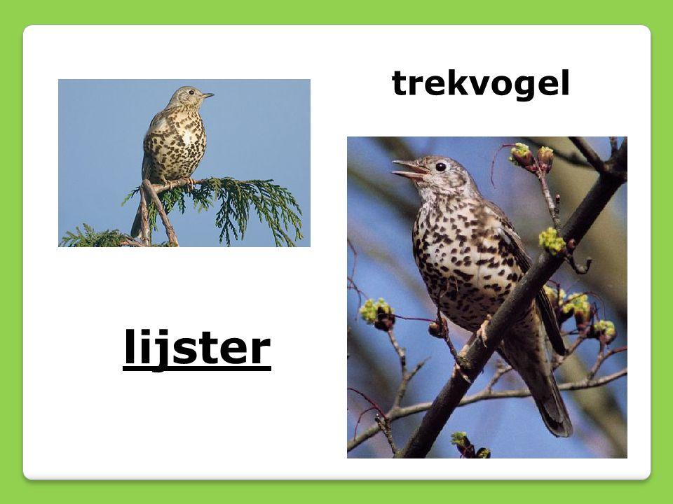 lijster trekvogel