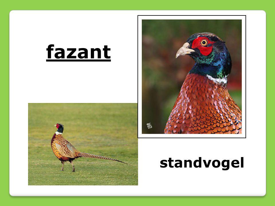 fazant standvogel
